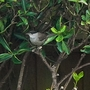 Black_headed_bird_2012_03_01_003