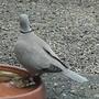 Ring necked-dove