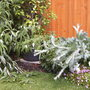 Wind Damage Yesterday (Onopordum acanthium (Scotch thistle))