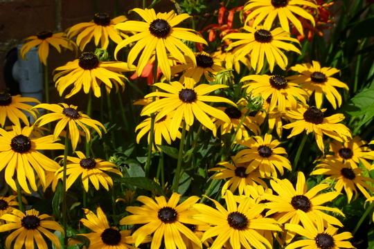 Rudbeckia fulgida var. sullivantii 'Goldsturm' (Rudbeckia fulgida (Black-eyed Susan))