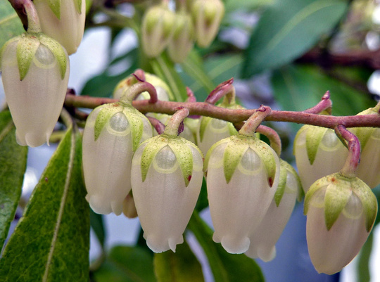 Close up Pieris