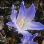 glory of the snow.. (Chionodoxa luciliae (Glory of the snow))
