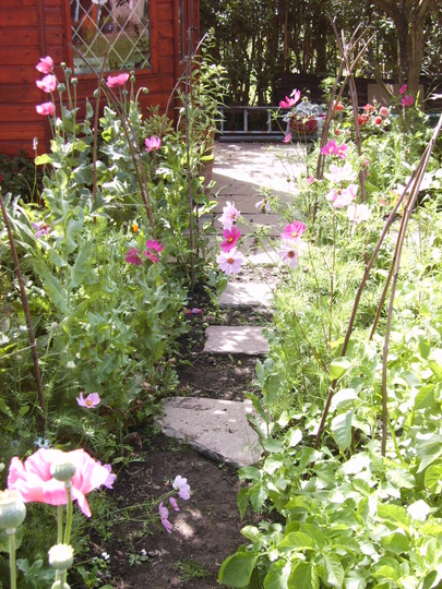Cosmos and Sweet Pea Walk (cosmos)