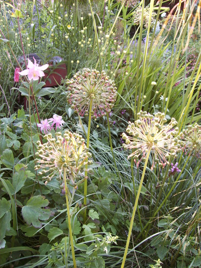 Alliums in the Evening (Allium hollandicum (Ornamental onion))