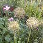Alliums_in_the_evening