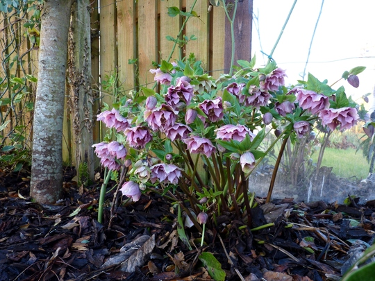Double red speckled hellebore.