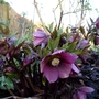 Dark Red hellebore