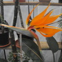 Strelezia........its last bloom for this season.......