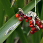 Seed head of... (Iris foetidissima (Stinking Iris))