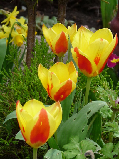 Brightening up the garden. (Tulip)