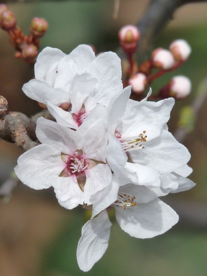 Cherry flower close-up (Prunus)
