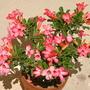 Adenium obesum - Desert Rose