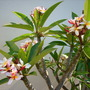 Plumeria rubra 'Tricolor'  (Plumeria rubra 'Tricolor')