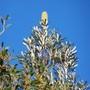 Banksia integrifolia (Banksia integrifolia)