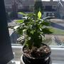 Coffea_plant