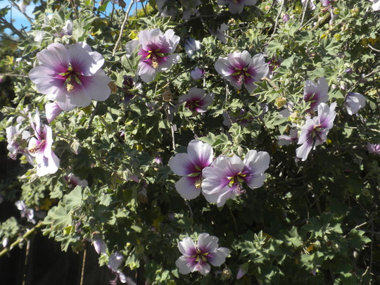 Lavatera arborea - Tree Mallow (Lavatera arborea - Tree Mallow)