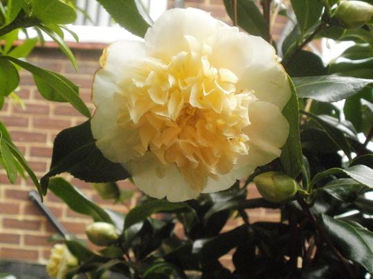 Camellia Brushfields yellow.. (camellia brushfields yellow)