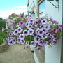 hanging baskets out by the front door