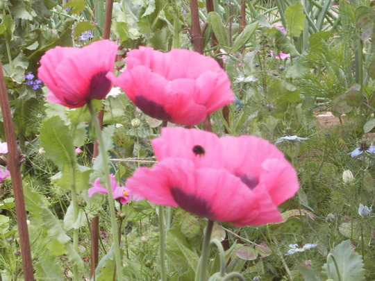 Poppys - Can you see the bee? (Papaver somniferum (Opium poppy))