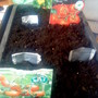 Tomato seeds sown in propagator at home 06-03-2012 (Solanum lycopersicum (Tomato))