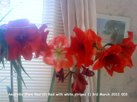 Amaryllis Pure Red (2) Red with white stripes (1) 03-03-2012 003