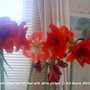 Amaryllis_pure_red_2_red_with_white_stripes_1_03_03_2012_003