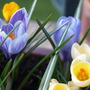 Purple and yellow Crocus  (Crocus vernus (Dutch crocus))
