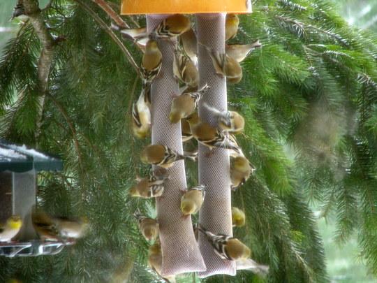 Suet Birds!