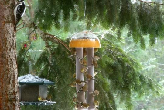 Birds_on_suet-_Hairy_Woodpecker_on_tree.jpg