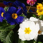 Pretty as a Polyanthus