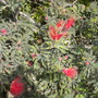 Calliandra californica - Fairy Duster (Calliandra californica - Fairy Duster)