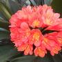 Clivia miniata - Kaffir Lily (Clivia miniata - Kaffir Lily)