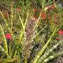 Sansevieria Flowering in Balboa Park, San Diego, CA. (Sansevieria)