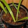 Eucomis comosa leaf cuttings