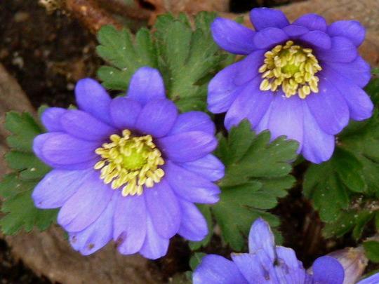 Wood Anemone    '  Blue  '