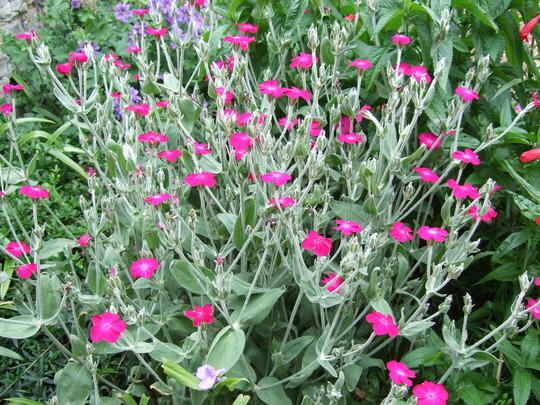 Lychnis coronaria plant. : Grows on You