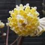Edgeworthia chrysantha - 2012 (Edgeworthia chrysantha)