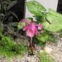 Little Imp in the Gravel garden