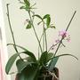 Phalaenopsis_equestris_1_
