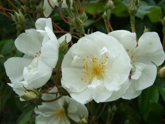 Rosa filipes 'Kiftsgate' (Rosa filipes 'Kiftsgate')