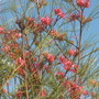 Grevillea &#x27;Long John&#x27;  (Grevillea &#x27;Long John&#x27;)