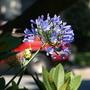 Humming bird w/ Agapanthus