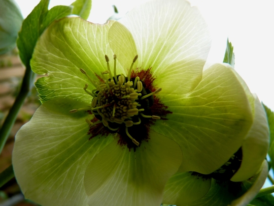 Another hellebore which I don't think I've seen in flower before..