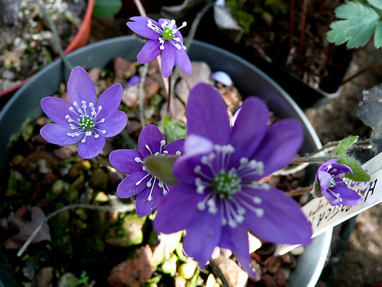 Hepatica colbat Blue