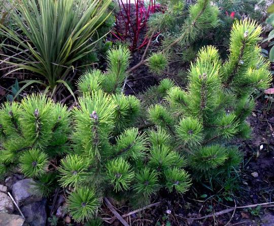 conifer on front Pinus mugo 'Pumillo'