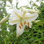 Single White Lilly