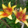 Golden Stone Lily