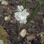 Puschkinia scilloides var Libanotica