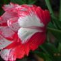 Estella Rijnveld Tulip