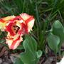 Flaming Parot tulip